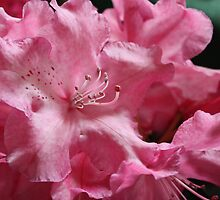 Pink and Frilly by Kelley Shannon