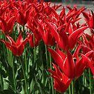 Red tulips by rasim1