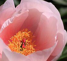 Peek Inside Pink Peony by jenndes