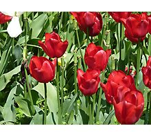 Red Tulips , Throw Pillow , Tote bag, Duvet, prints Photographic Print