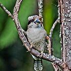 Kookaburra at Sherbrooke II by Tom Newman