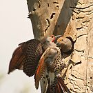 Flickers at their Nest by David Friederich