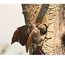 Flickers at their Nest Photographic Print