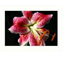 Asiatic starburst lily Art Print