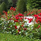 Red Roses Singing of Summer by MidnightMelody