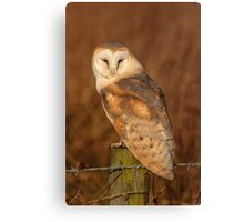 Barn Owl on sitting in the evening sun Canvas Print