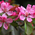Apple Blossom - in memory of my mother by bevanimage