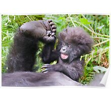 Young Mountain Gorilla, Volcanoes National Park Poster