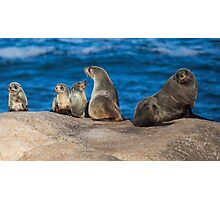 Australian Fur Seals Photographic Print