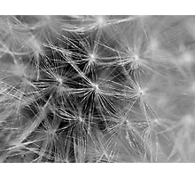 Delicate Dandy Photographic Print