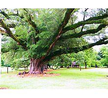 Live Oak on Magnolia Plantation Photographic Print