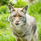 Coyote 2  by Sean McConnery