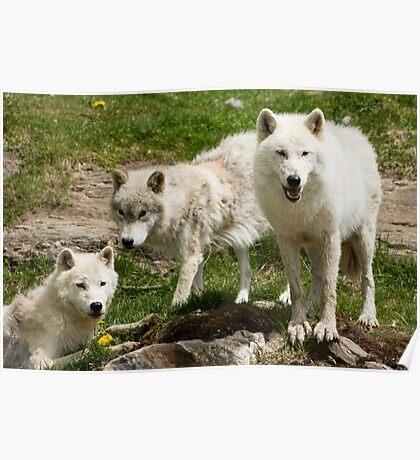 Arctic Trio Poster