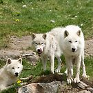 Arctic Trio 2 by Sean McConnery