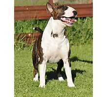 Our Happy Phil, english bull terrier Photographic Print