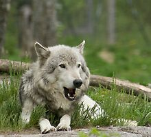 Timber Wolf by Sean McConnery