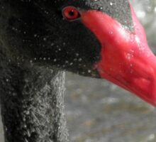 Black Swan with Water Droplets, Canberra, Australia. Sticker