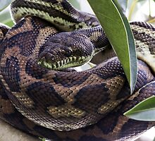 Carpet Python Snake by JayWolfImages