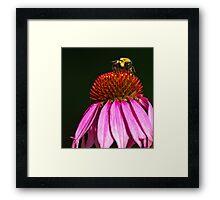 BUMBLEBEE ON PURPLE CONE FLOWER Framed Print