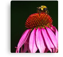BUMBLEBEE ON PURPLE CONE FLOWER Canvas Print