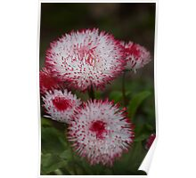 White and Red flower Poster