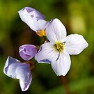 Cuckoo Flower - Cardamine pratensis by Moonlake