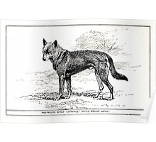 All about dogs a book for doggy people Charles Henry Lane 1900 0329 Australian Dingo_jpg Poster