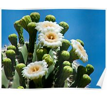 Saguaro in May Poster