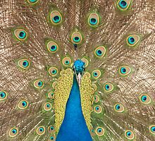 Displaying Peacock or peafowl by Jon Lees