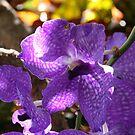Purple Orchid by Lauren Banks
