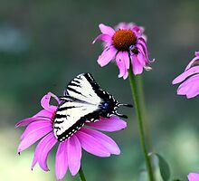 Tiger Swallowtail by Tony Wilder
