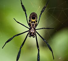 Black-legged Golden Orb-web Spider by Macky