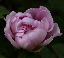 Pink peony by annalisa bianchetti