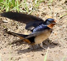 Barn Swallow by Erik Anderson