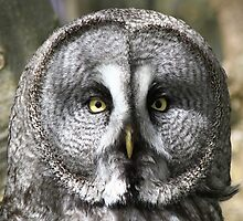 Great Grey Owl by darr3n