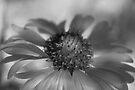 Firewheel in Mono by Vicki Pelham