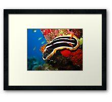 Nudibranch - Chromodoris africana Framed Print