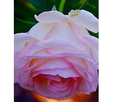 Carnation Pink Photographic Print
