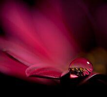 Drop of water on Osteosperma by Diego Baroni