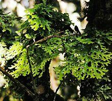 Lichen in the Deep Forest,Waldheim,Cradle Mountain,Tasmania. by kaysharp