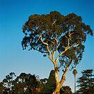 Tree in McLeod by Ajmdc