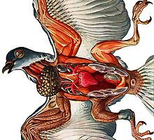 Pigeon anatomy by marmur