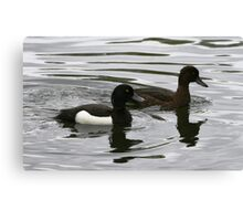 Male and Female Tufted Duck Canvas Print