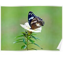 Hypolimnas bolina - common eggfly butterfly Poster