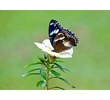 Hypolimnas bolina - common eggfly butterfly Photographic Print