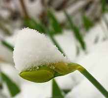 Spring Snow on Daffodil Bud by rwhitney22