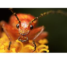 Rhagonycha fulva (Common red soldier beetle) Photographic Print
