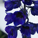 deep blue Delphinium  by BronReid