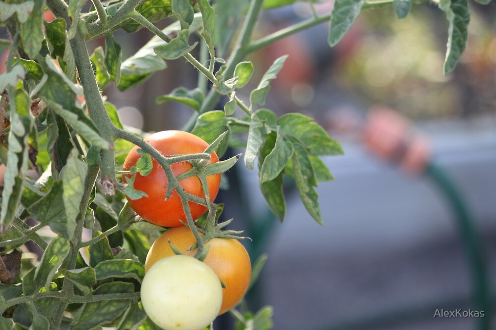 Tomatoes by AlexKokas