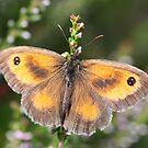Gatekeeper Butterfly by John Keates